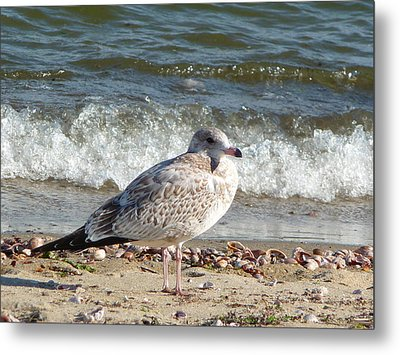 Speckled Brown Gull Metal Print by Margie Avellino
