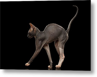 Sphynx Cat Funny Standing Isolated On Black Mirror Metal Print by Sergey Taran