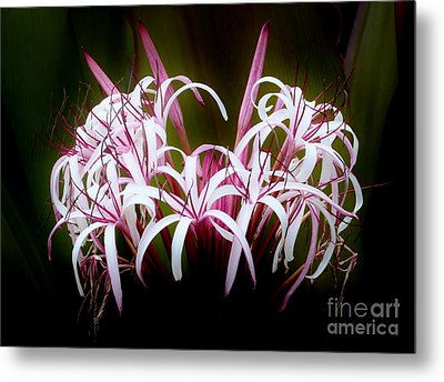 Spider Lilly Metal Print