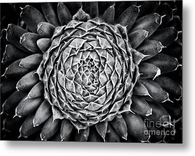 Spiny Pennywort Monochrome Metal Print