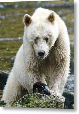 Spirit Bear With Salmon For Lunch Metal Print by Melody Watson