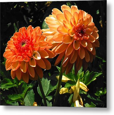 Splendor Of Fall Dahlias  Metal Print