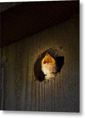 Spotlight On Baby Swallow Metal Print by Jean Noren