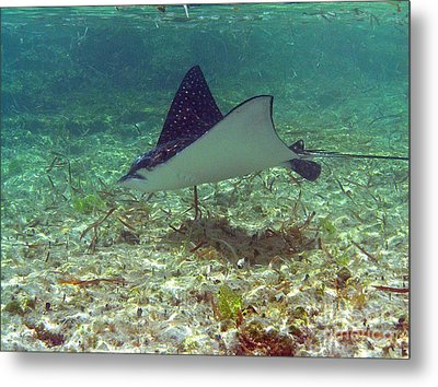 Spotted Eagle Ray Metal Print