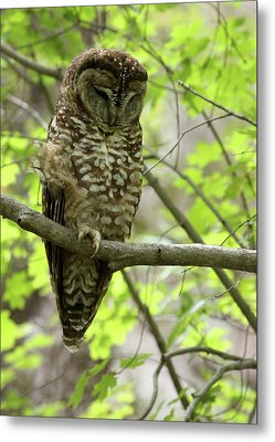 Spotted Owl Metal Print