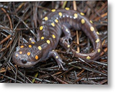 Spotted Salamander Metal Print by Derek Thornton