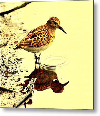 Spotted Sandpiper Metal Print