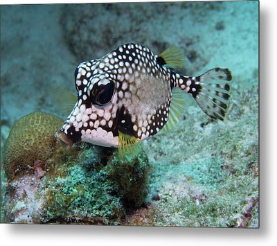 Metal Print featuring the photograph Spotted Trunkfsh by Jean Noren