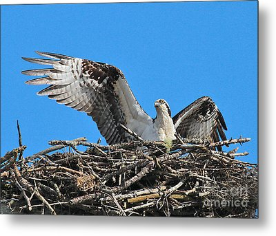 Metal Print featuring the photograph Spread-winged Osprey  by Debbie Stahre