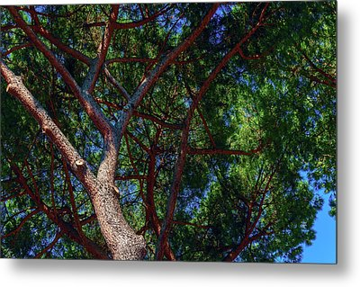 Spreading Trees Provide Shade And Coolness On A Hot Summer Day Metal Print by George Westermak