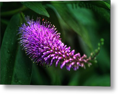 spring beautiful flowers callistemon in subtropics of Russia Metal Print