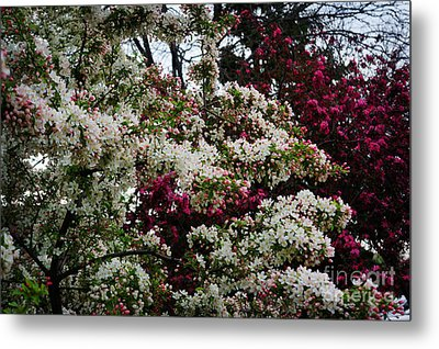 Spring Blossoms  Metal Print by Celestial Images