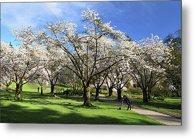 Spring Cherry Blossoms In Stanley Park Vancouver  Metal Print by Pierre Leclerc Photography
