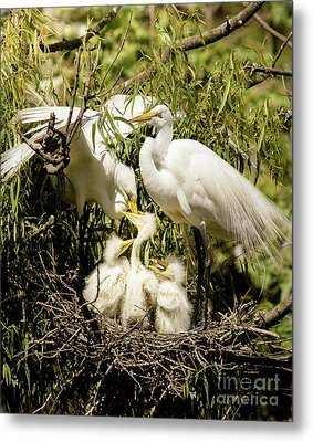 Metal Print featuring the photograph Spring Egret Chicks by Robert Frederick