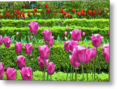 Metal Print featuring the photograph Spring Garden - Pink Tulips by Frank Tschakert