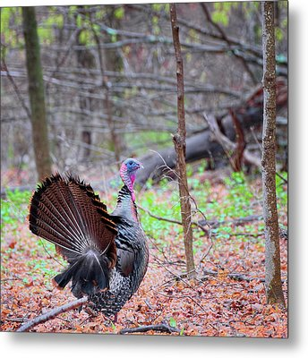 Metal Print featuring the photograph Spring Gobbler Square by Bill Wakeley