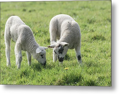 Metal Print featuring the photograph Spring Lambs by Scott Carruthers