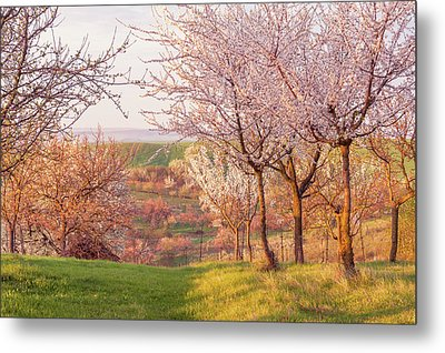 Metal Print featuring the photograph Spring Orchard With Morring Sun by Jenny Rainbow