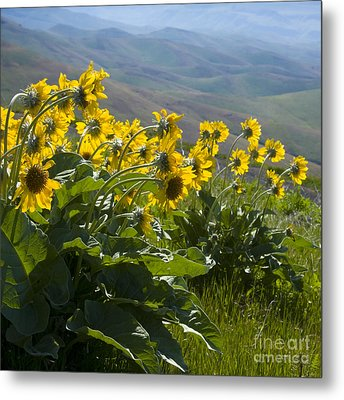 Spring Sunflowers Metal Print by Idaho Scenic Images Linda Lantzy