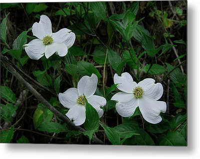 Metal Print featuring the photograph Spring Time Dogwood by Mike Eingle
