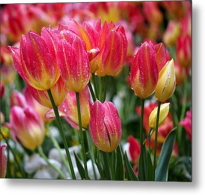 Spring Tulips In The Rain Metal Print