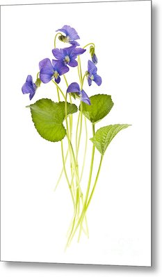 Spring Violets On White Metal Print by Elena Elisseeva