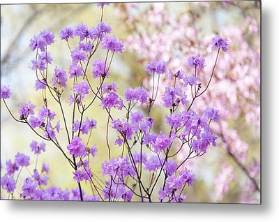 Metal Print featuring the photograph Spring Watercolors. Blooming Rhododendron  by Jenny Rainbow