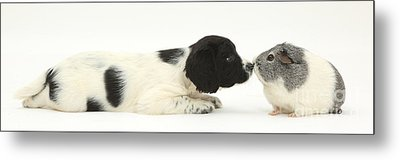 Springer Spaniel Puppy And Guinea Pig Metal Print