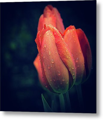Springtime Orange Tulips With Drops Metal Print by Julie Palencia