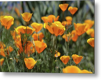 Metal Print featuring the photograph Springtime  Super Bloom In California by Cliff Wassmann