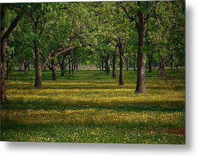 Springtime Through The Pecan Trees Metal Print