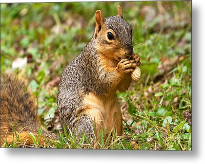 Squirrel Eating A Peanut Metal Print by James Marvin Phelps