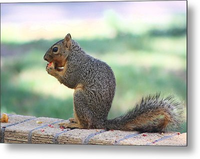 Squirrel Eating Crab Apple Metal Print by Colleen Cornelius