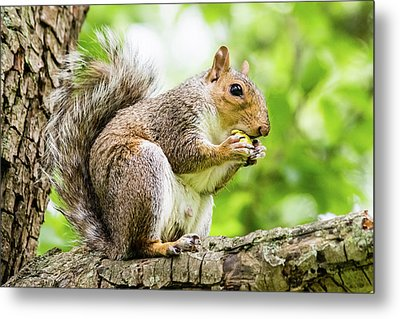 Squirrel Eating On A Branch Metal Print