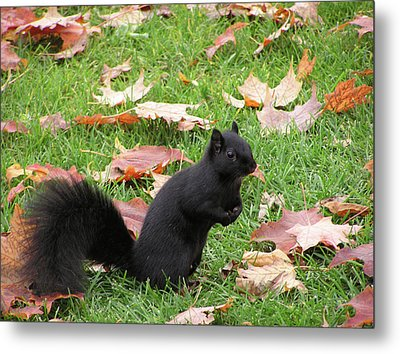 Squirrel Exploring Metal Print by Richard Mitchell