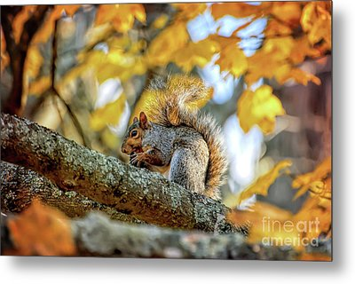 Metal Print featuring the photograph Squirrel In Autumn by Kerri Farley of New River Nature
