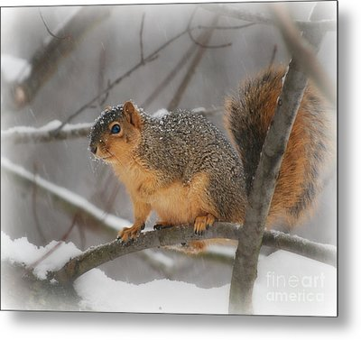 Metal Print featuring the photograph Squirrel  In The Maple Tree 3 by Lila Fisher-Wenzel