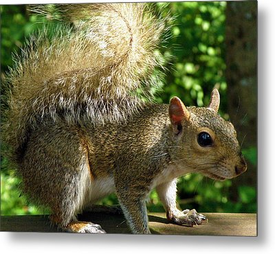 Squirrel In The Sunshine Metal Print by Rose  Hill
