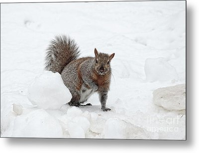Metal Print featuring the photograph Squirrel In Winter Snow by Charline Xia