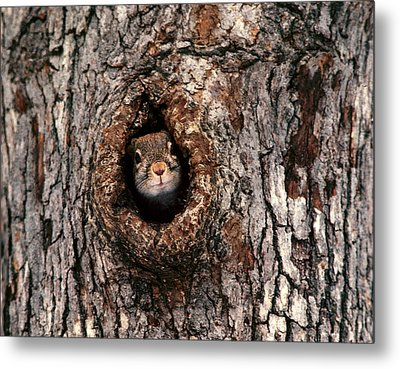 Squirrel Metal Print by Lloyd Grotjan