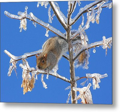 Metal Print featuring the photograph Squirrel On Icy Branches by Doris Potter