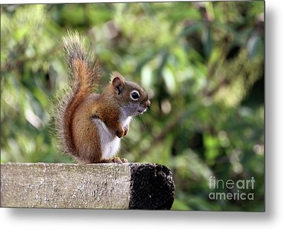 Squirrel On The Edge Metal Print by Marjorie Imbeau