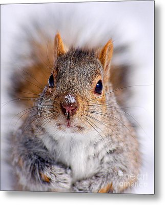 Squirrel Portrait Metal Print by Mircea Costina Photography