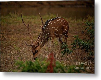 Sri Lankan Axis Deer Metal Print by Venura Herath