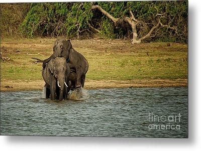 Sri Lankan Elephants  Metal Print by Venura Herath