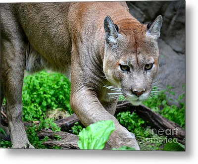 Stalking Metal Print by Deb Halloran