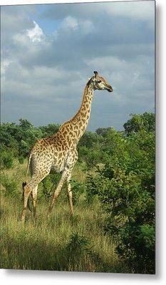 Standing Alone - Giraffe Metal Print