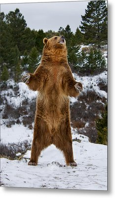 Standing Grizzly Bear Metal Print