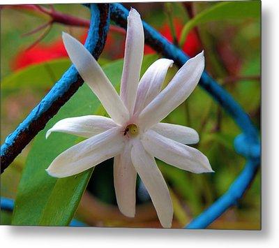 Star Jasmine Flower Metal Print