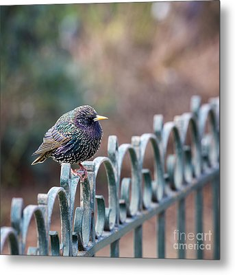 Starling Juvenile Male Metal Print by Jane Rix